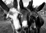 drie ezeltjes